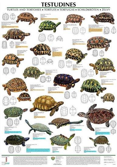 neuveden: Plakát - Testudines - želvy