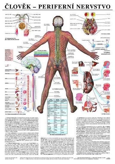 neuveden: Plakát - Člověk - Perifernií nervstvo